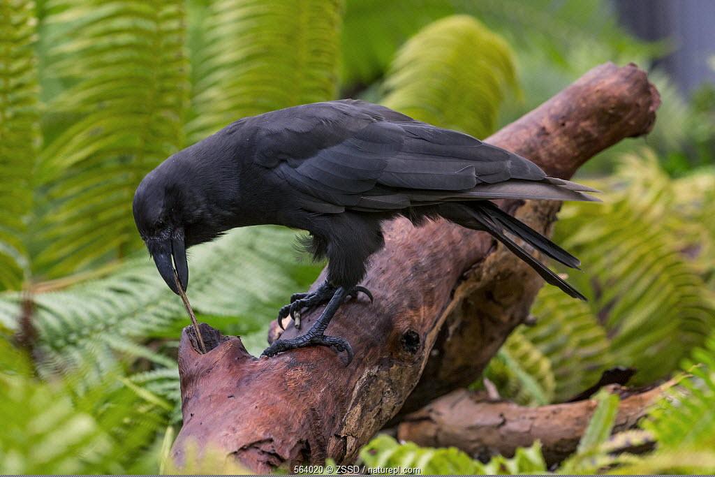 Hawaiian Crow (Corvus hawaiiensis) using stick tool to reach food, native to Hawaii