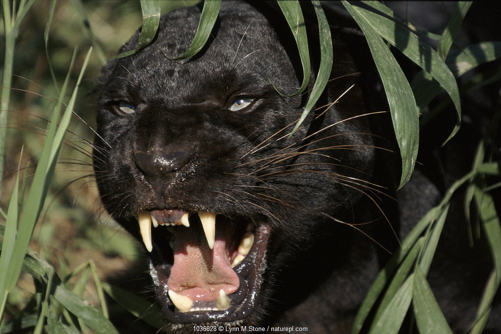 Melanistic (black form) leopard snarling, often called black panther (captive)