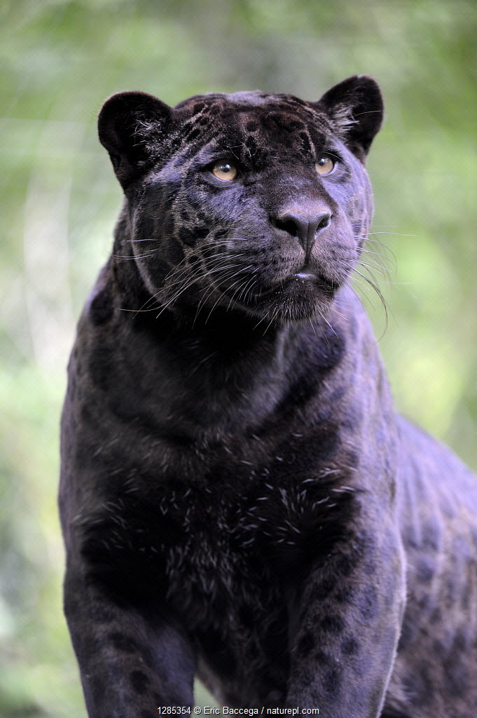 Head portrait of female Jaguar (Panthera onca) black melanic form, captive.