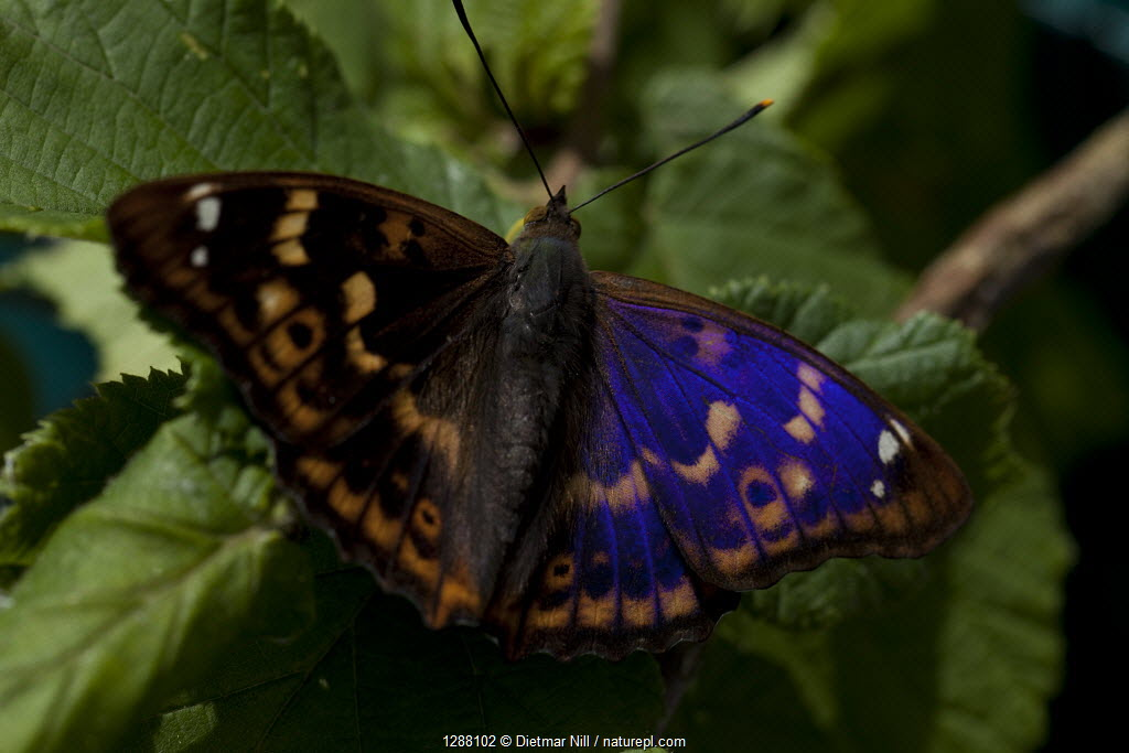 Purple emperor butterlfy (Apatura iris) Germany
