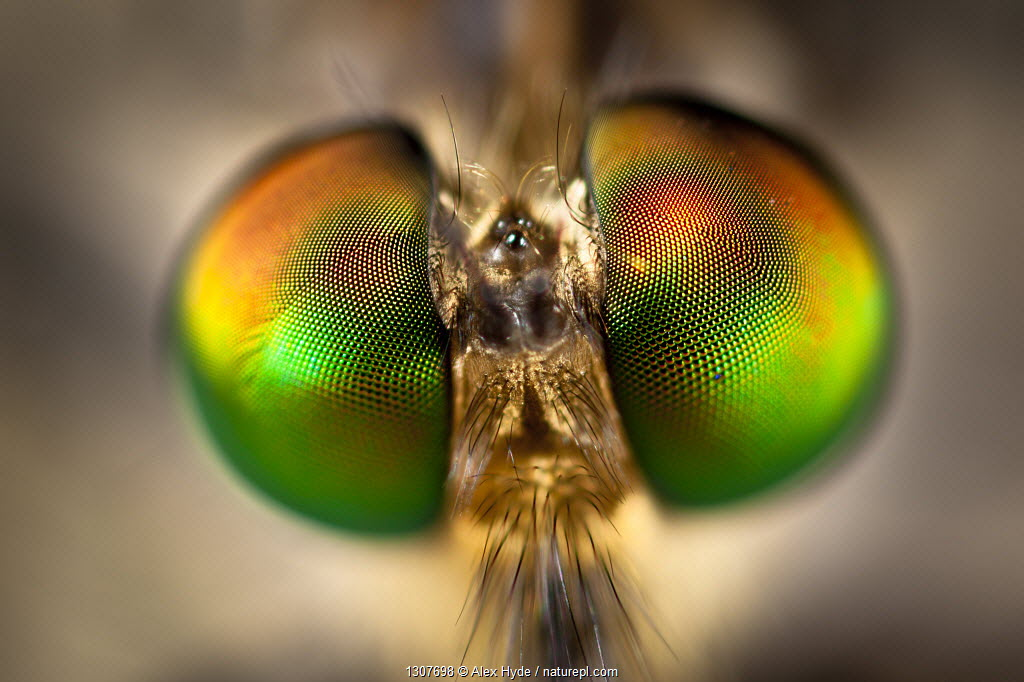 Close-up of compound eyes of unidentified fly {Diptera}. Masoala Peninsula National Park, north east Madagascar.