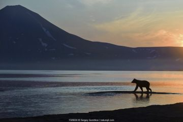 Silhouette of Kamchatka Brown bear (Ursus arctos beringianus) ) beside Lake Kuril at dawn