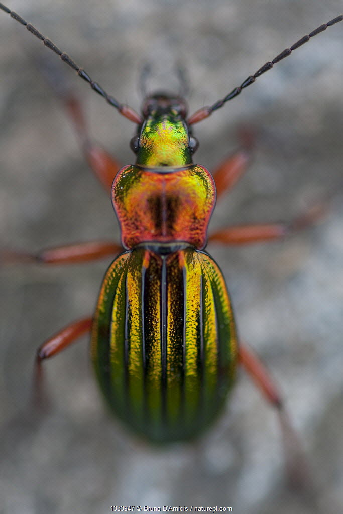 Golden Ground Beetle (Carabus auronites). Germany, May.