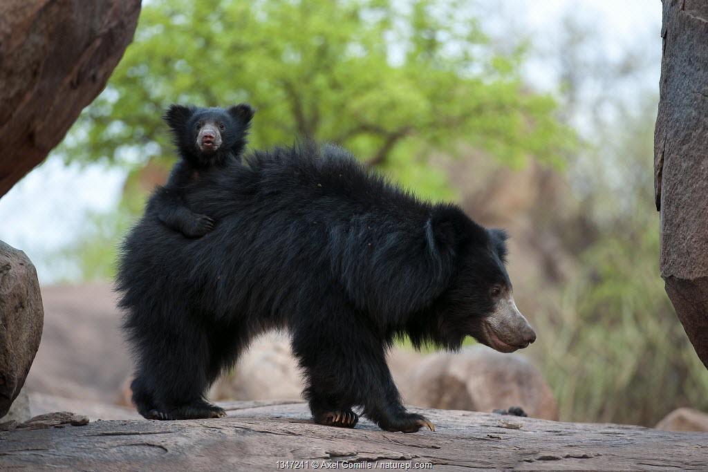 Sloth Bear (Melursus ursinus) mother with cub riding on her back. Karnataka, India