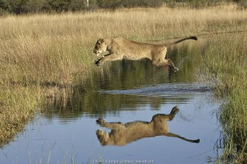 African lion (Panthera leo) lioness leaping over water, reflection in water, Okavango Delta, Botswana