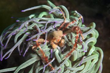 Sponge crab (Inachus sp) hiding in anemone, Channel Islands, UK, June