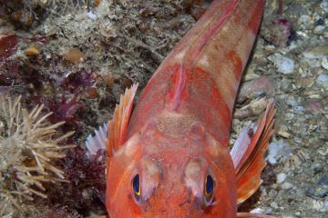 Red Gurnard (Aspitrigla / Chelidonichthys cuculus). Les Dents, Sark, British Channel Islands, July.