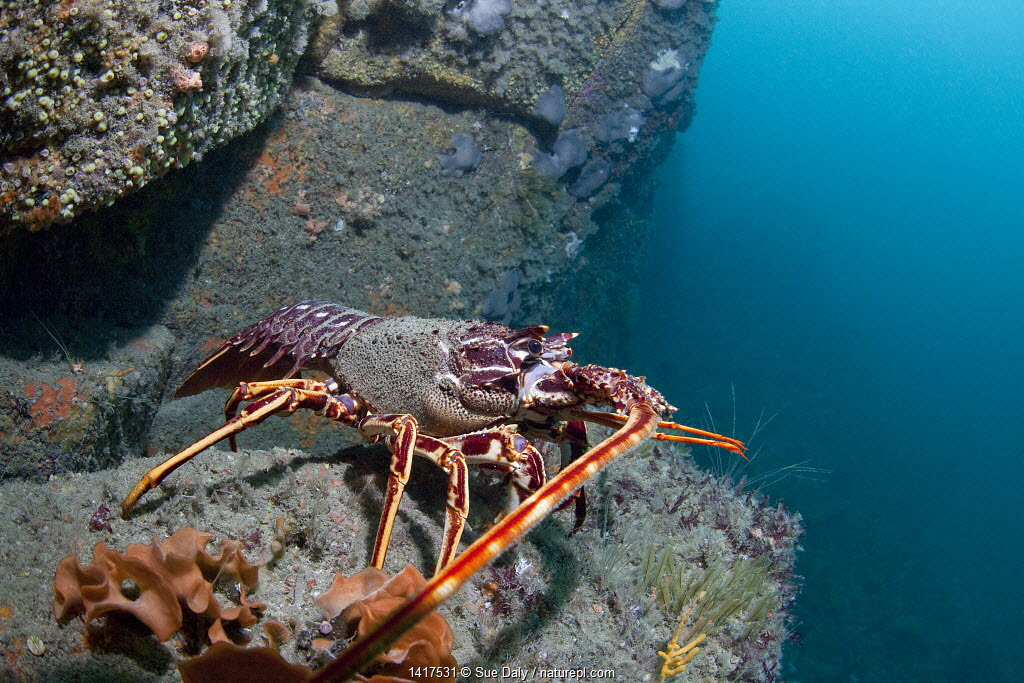 Crawfish / Spiny Lobster (Palinurus elephas). L'Etac, Sark, British Channel Islands, August.