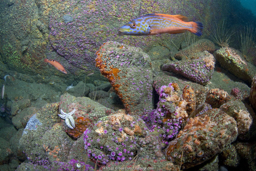 British underwater scenic with Jewel Anemones (Corynactis viridis) and Cuckoo Wrasse (Labrus bimaculatus). L'Etac, Sark, British Channel Islands, August.