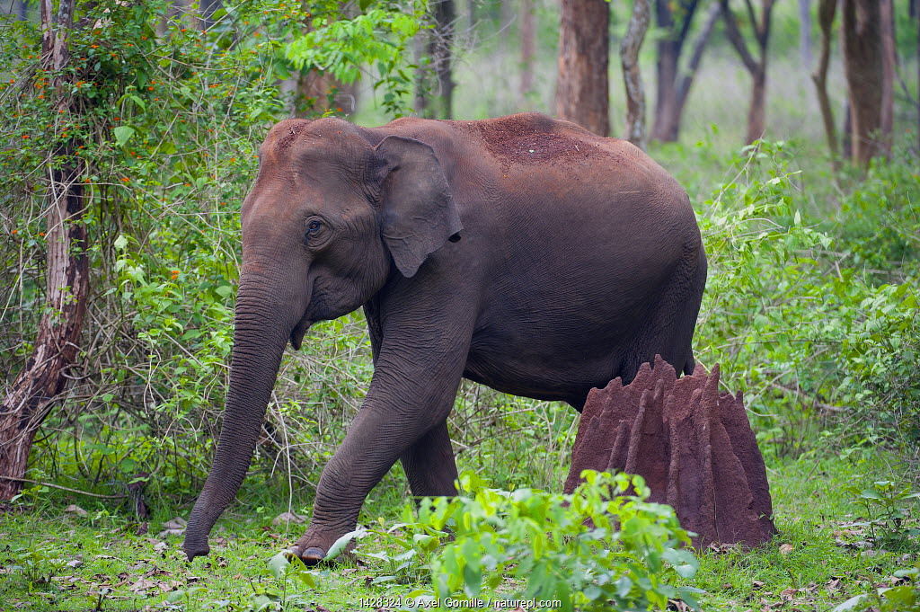 Asian Elephant (Elephas maximus) female walking past termite mound in forest, Nagarhole National Park, South India
