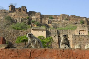 Hanuman Langur or Common Langur (Semnopithecus/ Presbytis entellus), in front of Ranthambhore Fort, Rajasthan, India