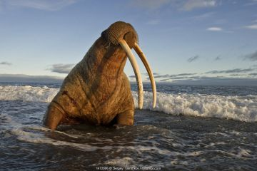 Walrus (Odobenus rosmarus) on coast of Wrangel Island, Far Eastern Russia, September.