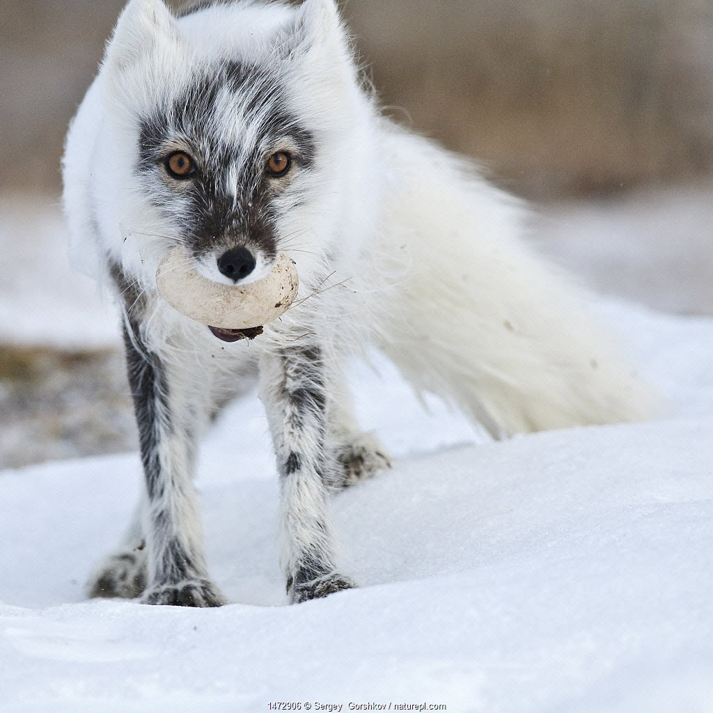 Arctic fox (Vulpes lagopus) with Snow goose egg in mouth, mid moult from winter to summer fur, Wrangel Island, Far Eastern Russia, June.