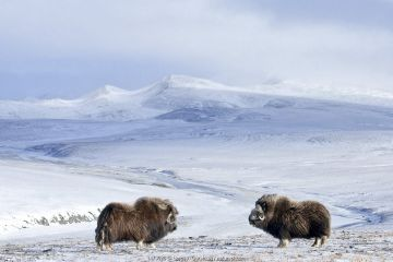 Musk ox (Ovibos moschatus) two in habitat, Wrangel Island, Far Eastern Russia, October.