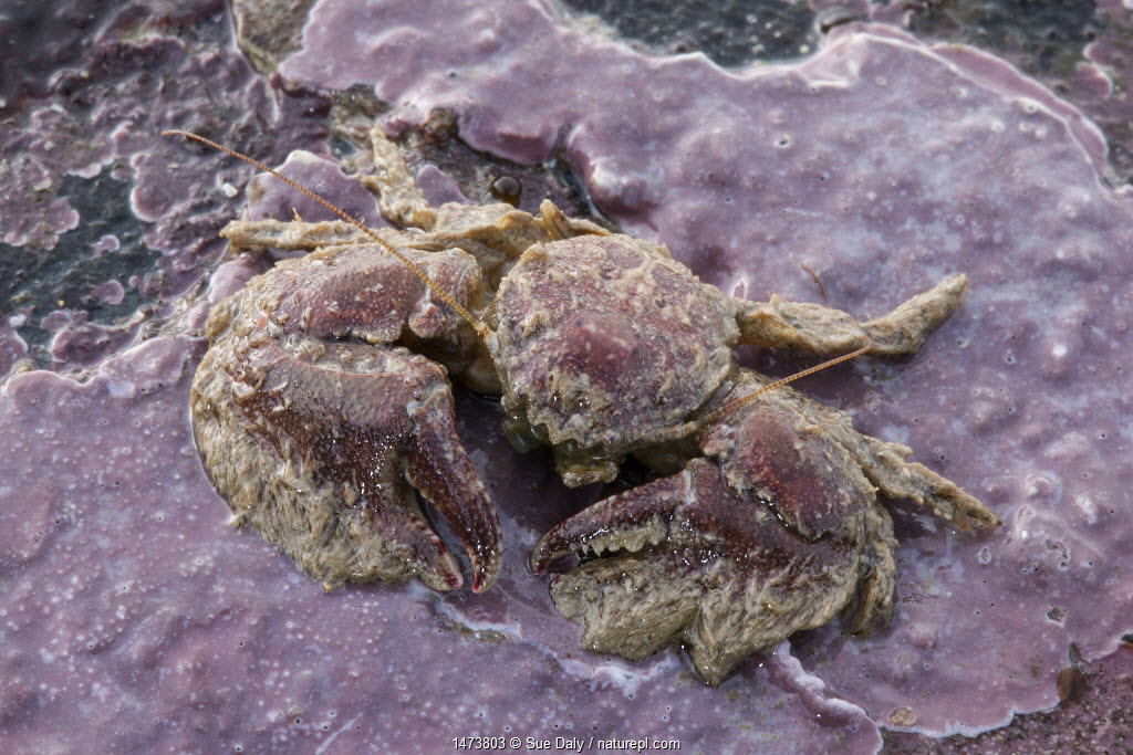 Broad-clawed Porcelain Crab (Porcellana platycheles) on sea shore, Sark, British Channel Islands.