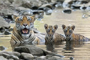 Bengal Tiger (Panthera tigris tigris) female 'Noor T39' with cubs in water. Ranthambore National Park, India.