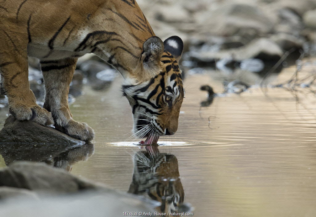 Bengal Tiger (Panthera tigris tigris) female 'Noor T39' drinking. Ranthambore National Park, India.