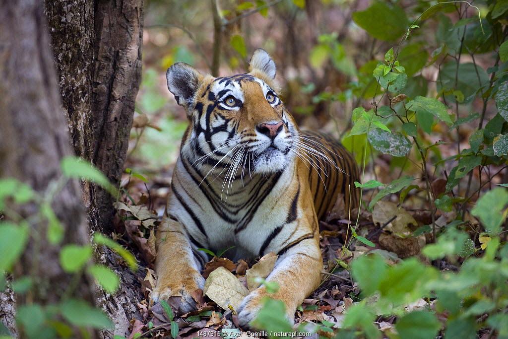Bengal tiger (Panthera tigris tigris), female resting and looking up Kanha National Park, India.
