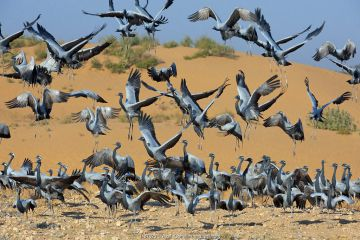 Demoiselle cranes (Anthropoides virgo) landing at wintering site, Thar desert, Rajasthan, India.
