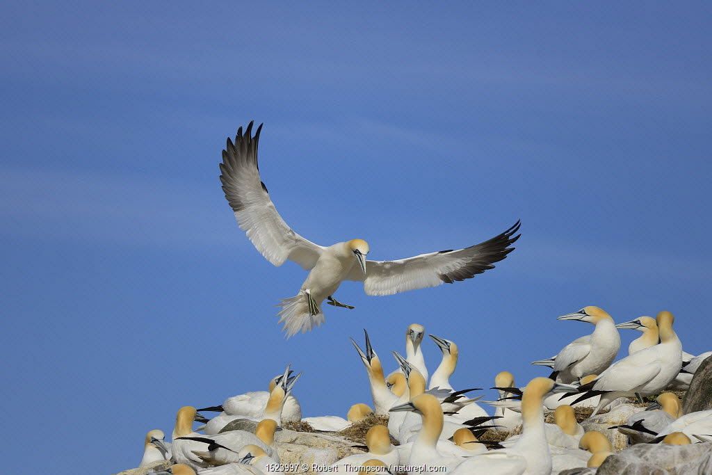 Gannet (Morus bassanus) coming into land on Great Saltee Island, County Wexford, Ireland, May.