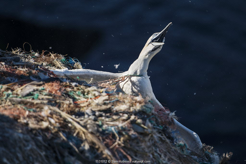 Northern gannet (Morus bassanus) entangled in marine litter. Grassholm Island, Wales, UK. October