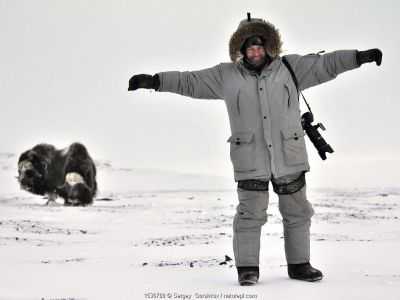 Photographer Sergey Gorshkov, standing with his arms outstretched on snow, with Musk ox (Ovibos moschatus) in the background, Wrangel Island, Far East Russia, March 2011.