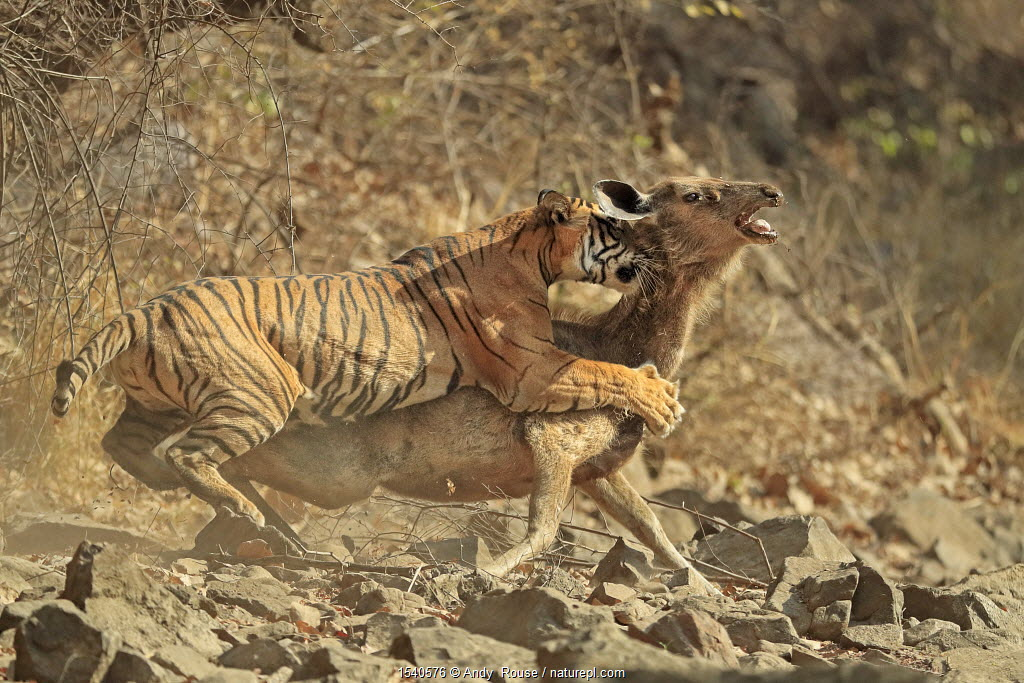 Bengal tiger (Panthera tigris tigris) female 'Noor T19' bringing down Sambar deer (Rusa unicolor) Ranthambhore, India.