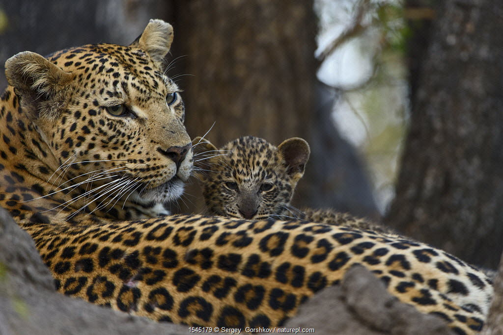 Leopard (Panthera pardus) mother resting with cubs Londolozi Private Game Reserve, South Africa