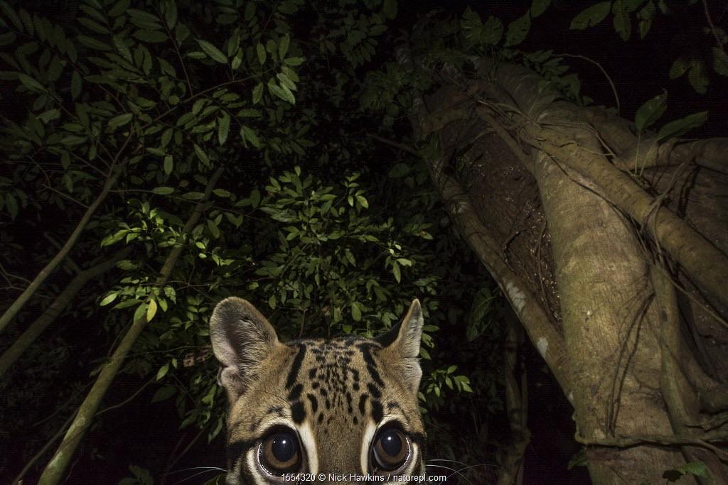 Ocelot (Leopardus pardalis) portrait. camera trap image, Nicoya Peninsula, Costa Rica.