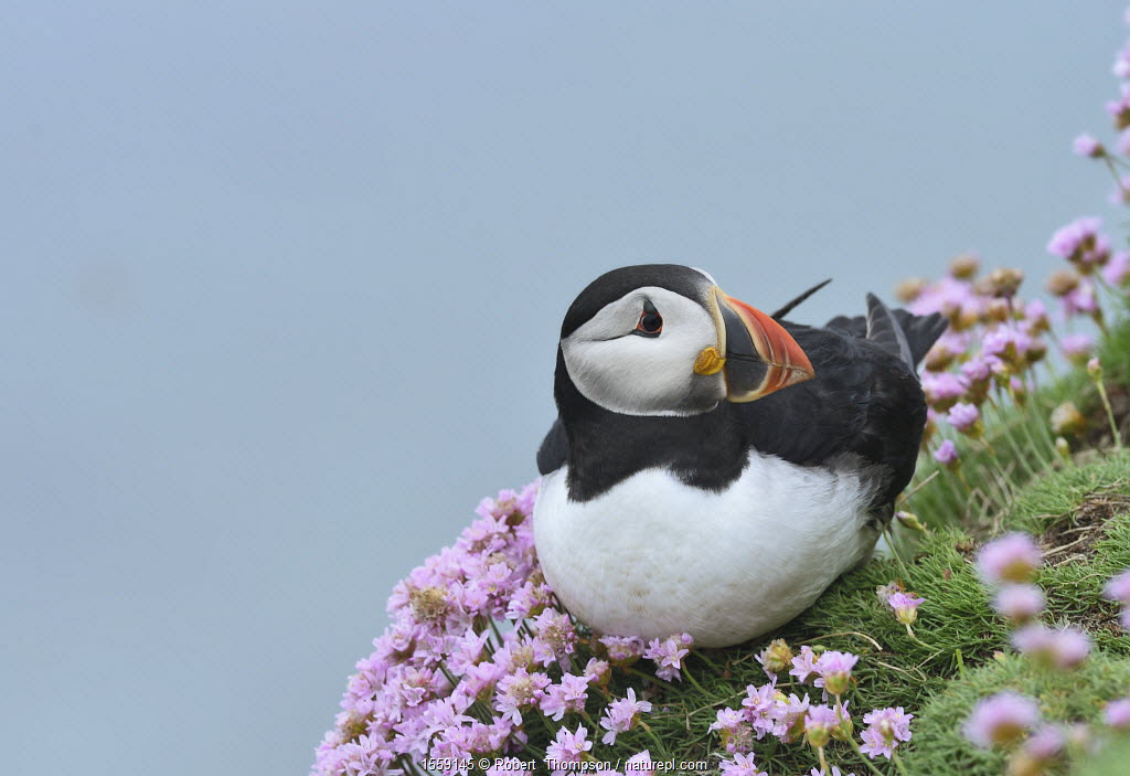 Puffin (Fratercula arctica) among sea thrift, Great Saltee Island, County Wexford, Ireland.