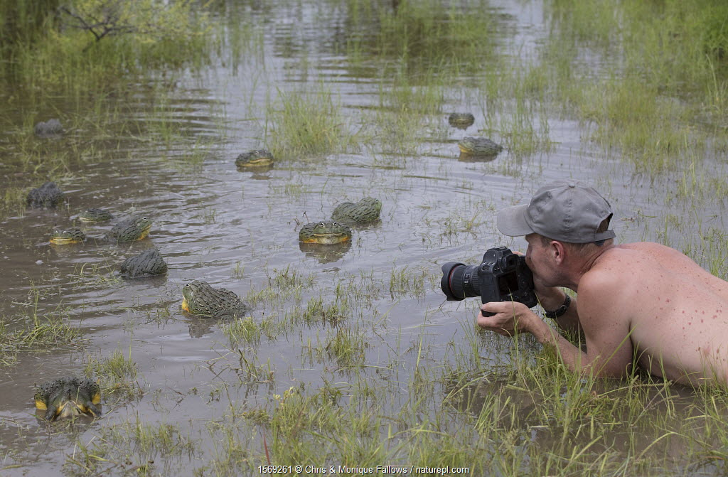 Photographer Chris Fallows taking pictures of African giant bullfrog (Pyxicephalus adspersus) Central Kalahari Game Reserve. Botswana.
