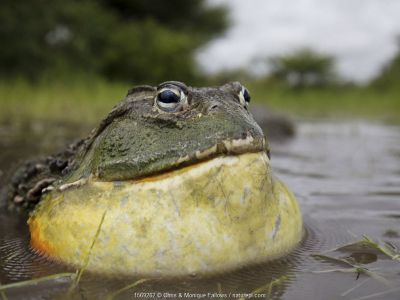 African giant bullfrog (Pyxicephalus adspersus) male calling, Central Kalahari Game Reserve. Botswana.