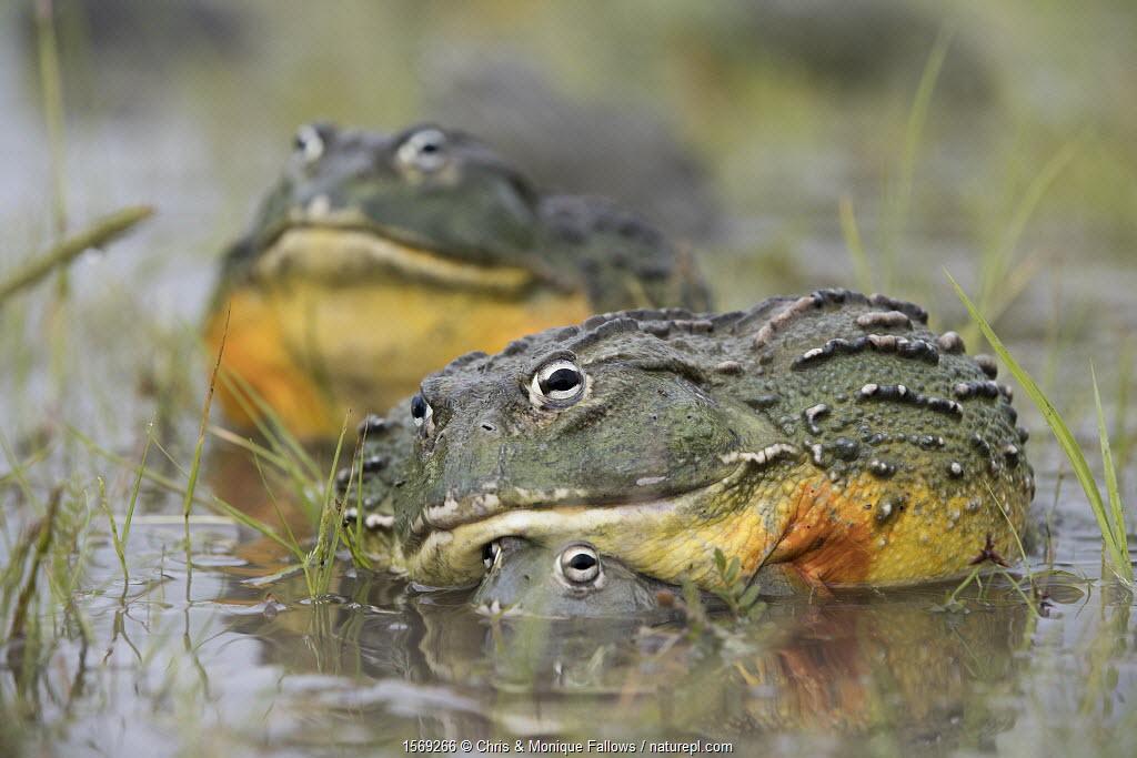 African giant bullfrog (Pyxicephalus adspersus) pair in amplexus, Central Kalahari Game Reserve. Botswana.