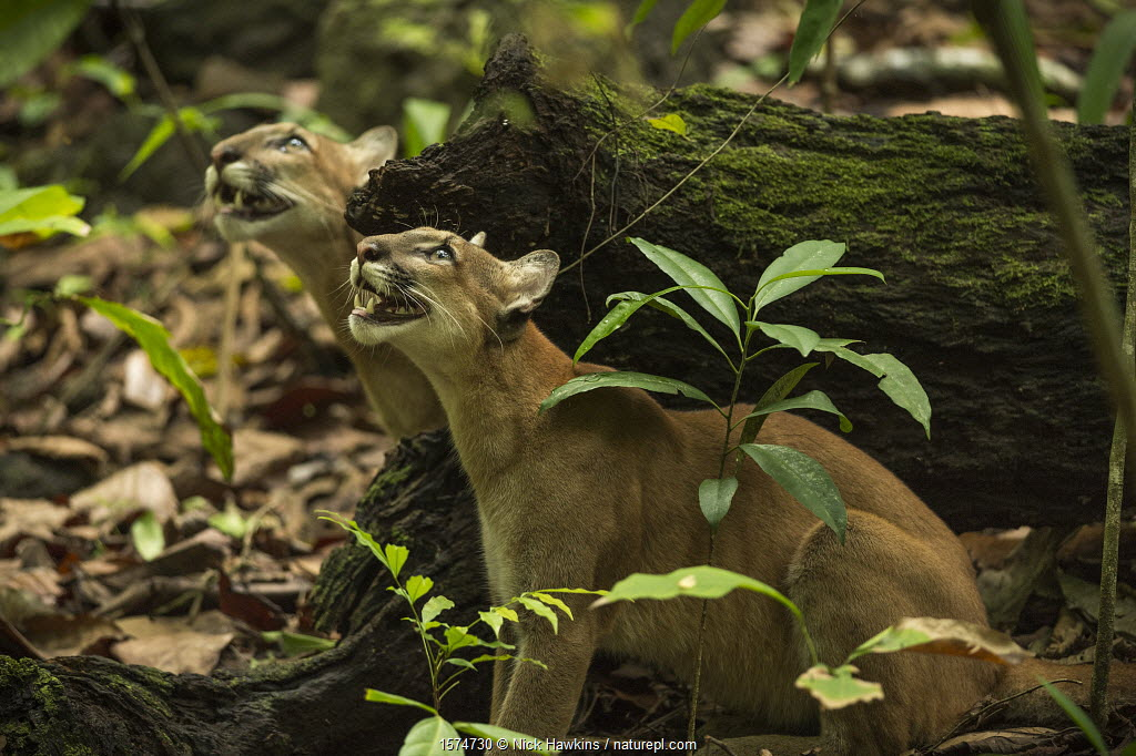 Pumas (Puma concolor) stalking a troop of howler monkeys, Corcovado National Park, Costa Rica, May.