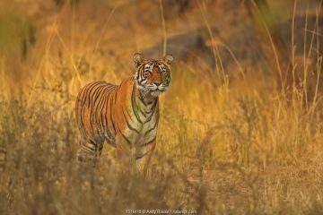 Bengal tiger (Panthera tigris) tigress Noor hunting , Ranthambhore, India