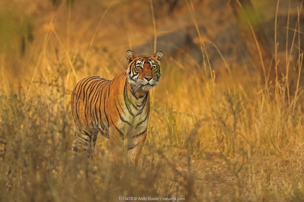 Bengal tiger (Panthera tigris) tigress Noor hunting , Ranthambhore, India
