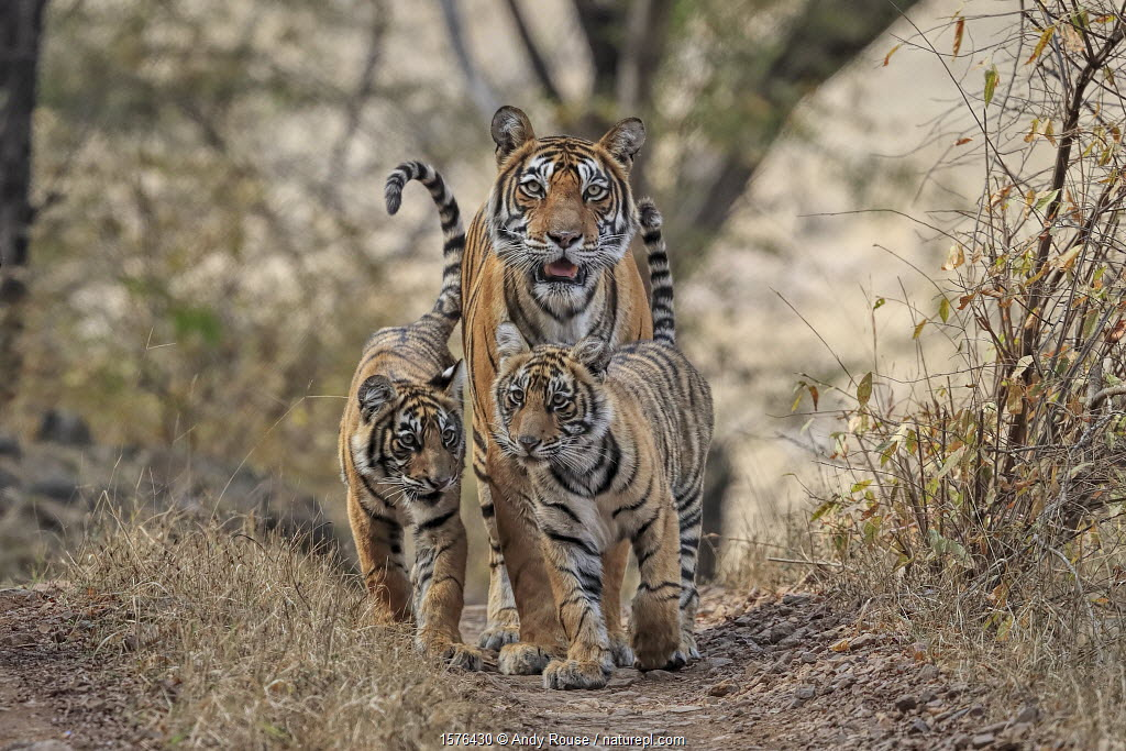 Bengal tiger (Panthera tigris) tigress 'Noor' with cubs, , Ranthambhore, India