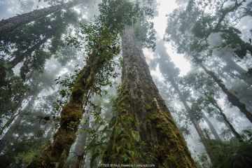 Massive old growth oak trees of the cloud forest, Talamanca Range, Costa Rica