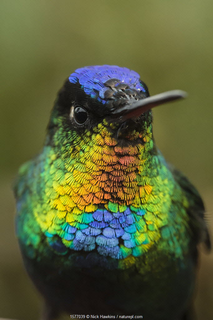 Fiery throated hummingbird (Panterpe insignis) an endemic bird species. Talamanca Range, Talamanca Range-La Amistad Reserves / La Amistad National Park UNESCO Natural World Heritage Site, Costa Rica.