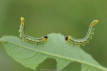 Sawfly larvae (Nematus pavidus) defensive posture, Peatlands Park, County Armagh, Northern Ireland. September.