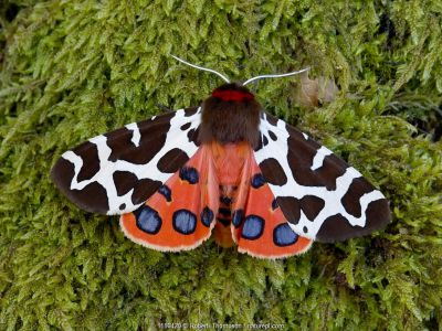 Garden tiger moth (Arctia caja) Killard Point NNR, Ballyhornan, County Down, Northern Ireland. July.