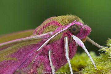 Elephant hawk moth (Deilephila elpenor) portrait, Brackagh Moss National Nature Reserve, Portadown, County Armagh, Northern Ireland. April.