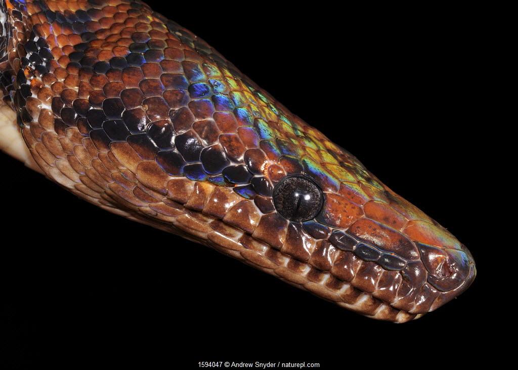 Rainbow boa (Epicrates cenchria showing iridescence on head, Iwokrama, Guyana.