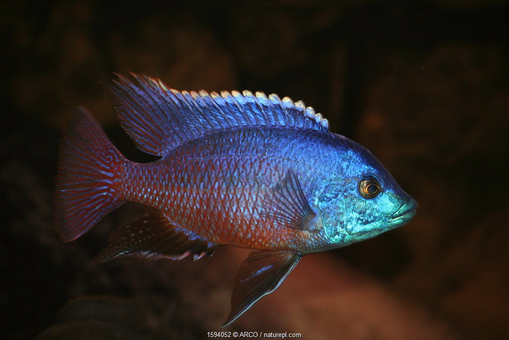 Cichlid (Protomelas taeniolatus) aquarium fish endemic to Lake Malawi.