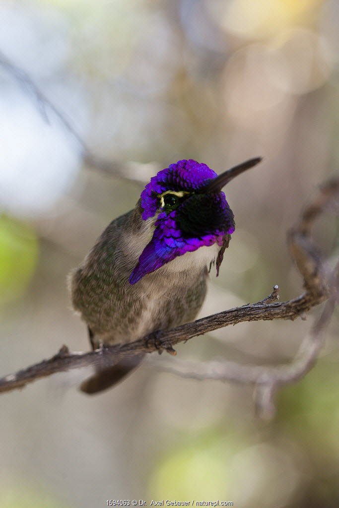 Costa's Hummingbird (Calypte costae) perched on branch showing iridescence. Arizona-Sonora Desert Museum, Tuscon, Arizona, USA, Small repro only