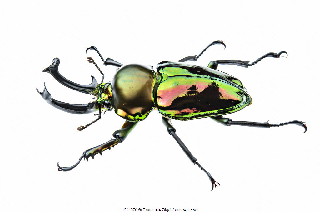 Golden green stag beetle (Lamprima sp.), adult male with big mandibles and a shiny iridescent coloration, Italy. Captive.