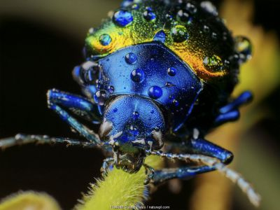Metallic leaf beetle (Chrysomelidae) with rain droplets, frontal view, in Aiuruoca, Minas Gerais, Brazil. South-east Atlantic forest.