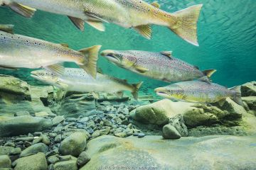 Atlantic salmon (Salmo salar) migrating for spawning in river, Gaspe Peninsula, Quebec, Canada, October.