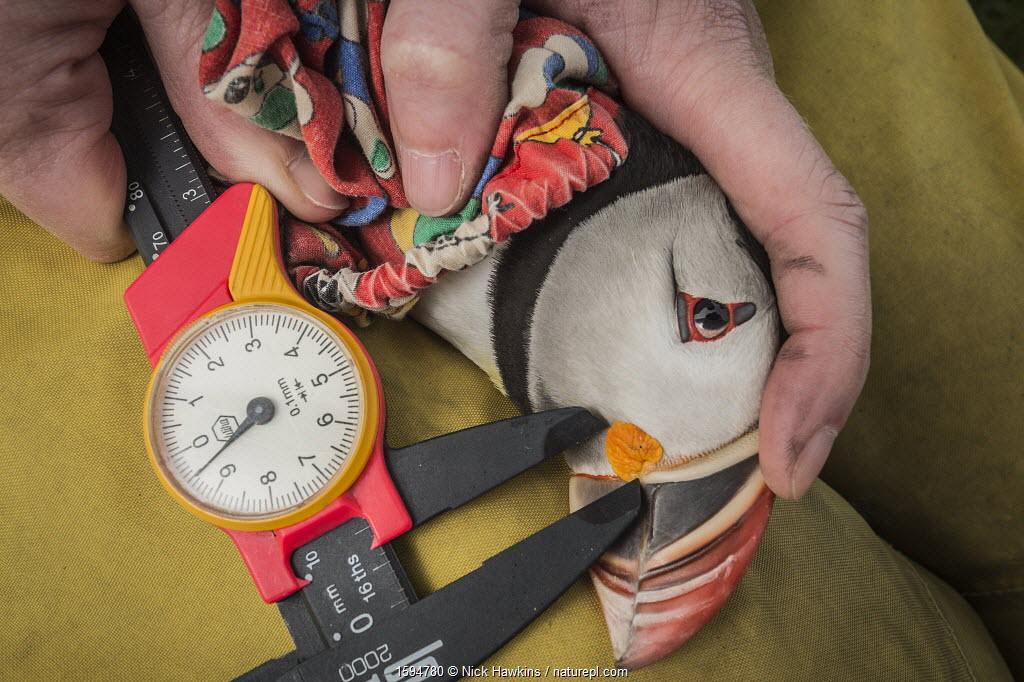 Atlantic puffin (Fratercula arctica) researcher measuring beak, Machias Seal Island, Bay of Fundy, New Brunswick, Canada, May.