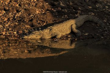 Mugger crocodile (Crocodylus palustris) at water's edge at sunset, Ranthambhore, India.